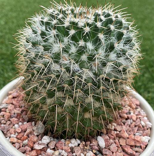 BT_cactus_intermediate_mamillariaNegapen