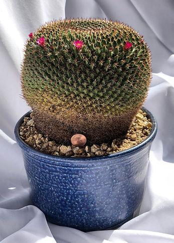 Gianni Alegre - Mammillaria Mystax 2.jpg