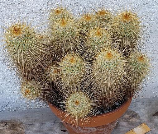 BT_cactus_advanced_mammillariaMagnifica.