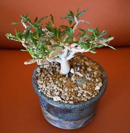 Jared Petker - Euphorbia capsaintemarien