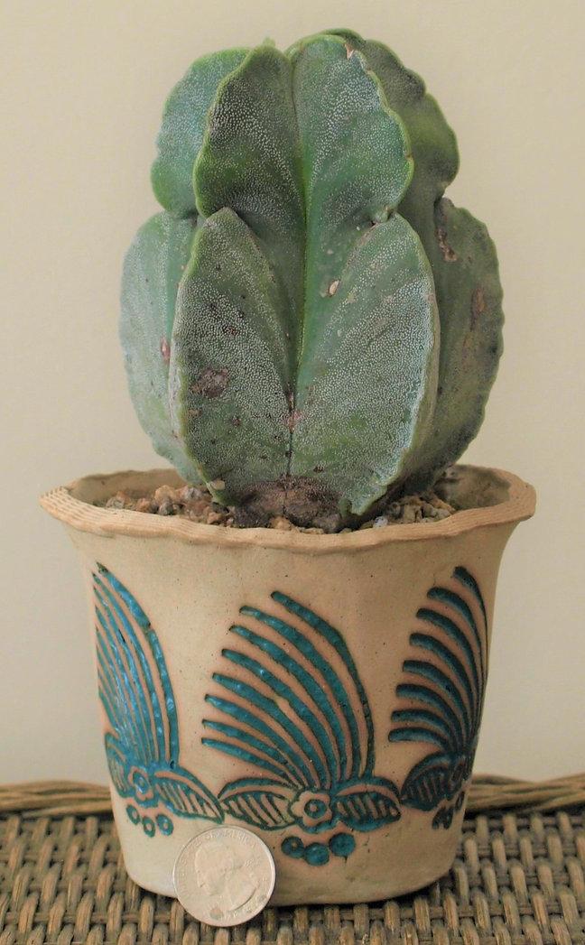cactus_novice_astrophytumMyriostigma1.JP