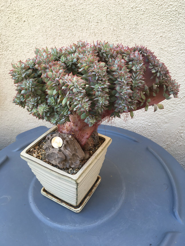 BT_succulent_intermediate_echeveriaPulod