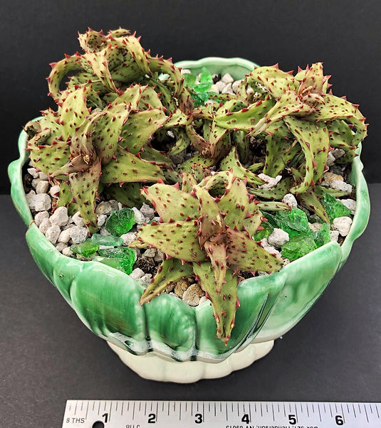 Eileen Mandell - Aloe castillioniae