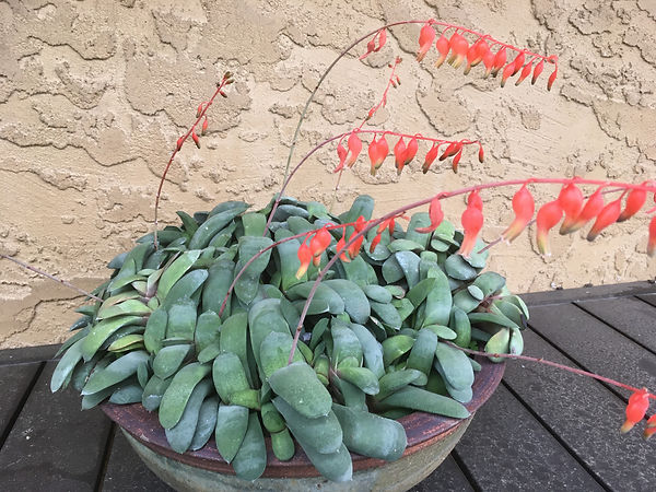 May Fong Ho - Gasteria glomerata