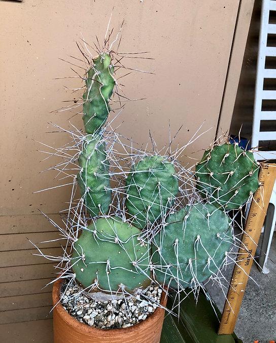 BT_cactus_advanced_opuntiaSulfurea.jpeg
