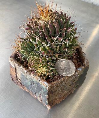 BT_cactus_novice_mammillariaLongimamma3.