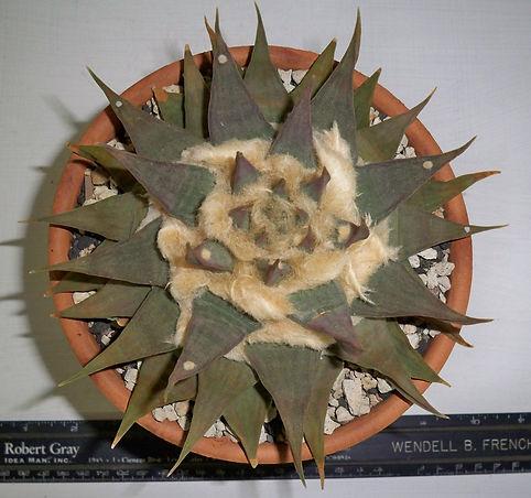 BT_cactus_novice_ariocarpusTrigonusSspEl