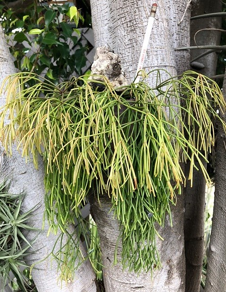 Pam Badger - Rhipsalis sp.png
