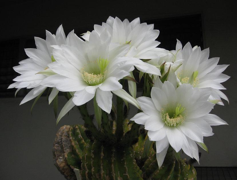 BT_cactus_intermediate_echinopsisSubdenu