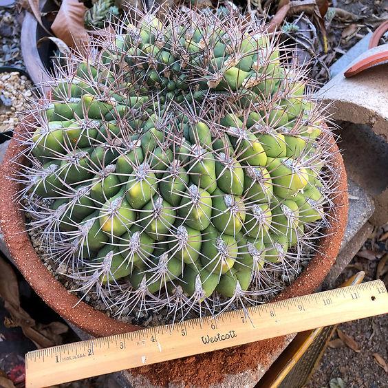 BT_cactus_advanced_gymnocalyciumSaglioni