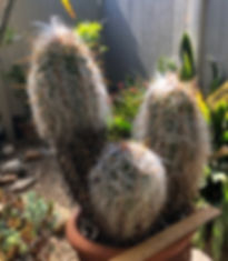 BT_cactus_advanced_oreocereusClecianus.j