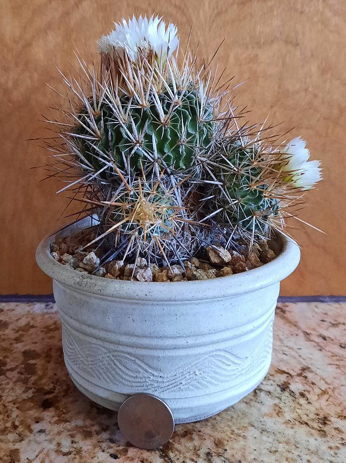 cactus_novice_echinofossulucactusLongisp