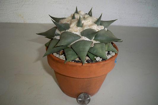 BT_cactus_novice_ariocarpusConfusus1.JPG
