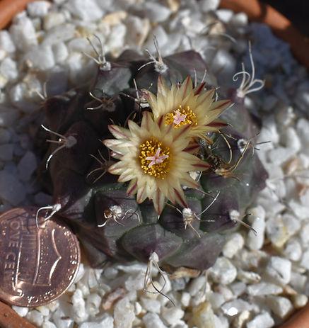 BT_cactus_advanced_turbinicarpusJuaernig