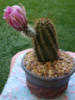 Norb Roden - Echinocereus fendleri.jpg