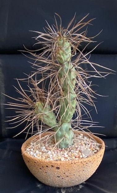 BT_cactus_intermediate_tephrocactusAorac