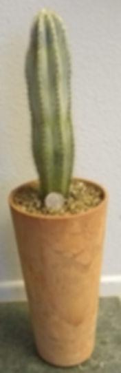 Olga - Cactus_Pilosocereus_side.jpg