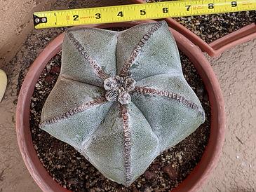 Dave Thurbon - Astrophytum myriostigma 2