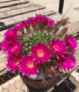 BT_cactus_advanced_lobiviaLarae.JPG