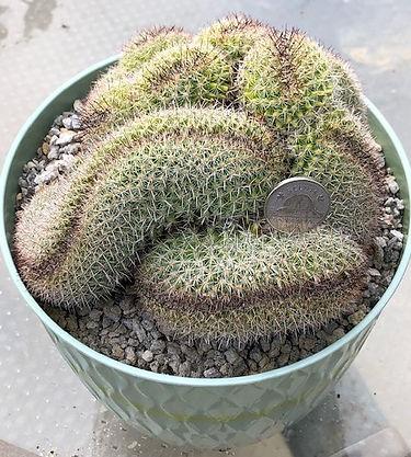 BT_cactus_novice_mammillariaCristatusRed