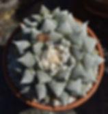 BT_cactus_advanced_ariocarpusRetusus.JPG