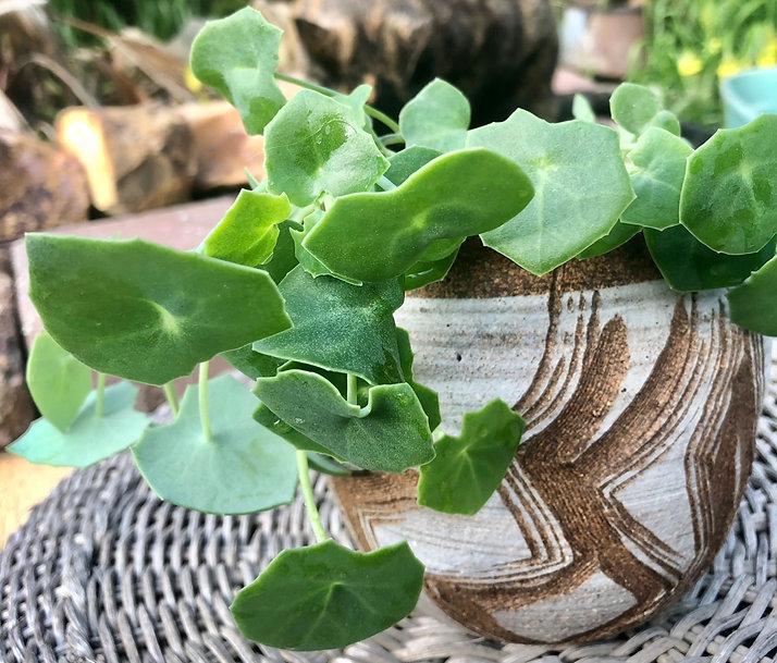 succulent_novice_senecioTropaeolifolius1