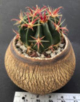 Eileen Mandell - Ferocactus latispinus.j