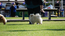 117th Pomeranian Club of NSW Specialty