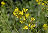 mustard-joie-fleurs-de-bach-nantes.jpg