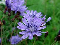 chicory-conseil-fleurs-de-bach-nantes-re