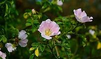 wild-rose-joie-de-vivre-fleurs-de-bach-n