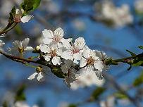 cherry-plum-fleurs-de-bach-nantes.jpg