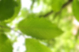 leaf CHARME-141627__340 (1).jpg