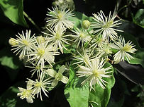 gaelle-roullet-clematis-moment-present.j