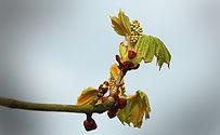 chesnut-bud-fleurs-de-bach-apprentissage