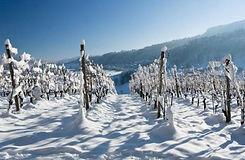 Taos-Wine-FestWinter-vines.jpg