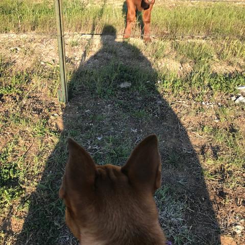 Sydney meets a Calf!
