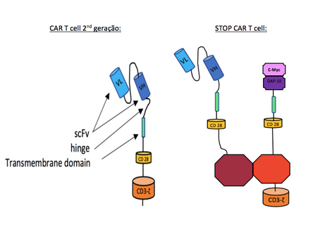 Design do STOP-CAR-T-cell para limitar  efeitos colaterais