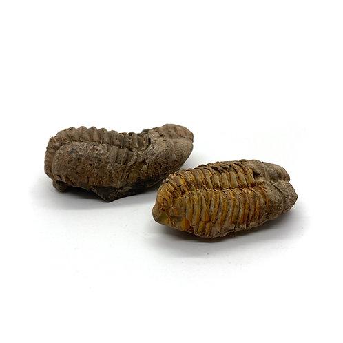 Trilobite Calymene