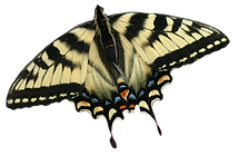 butterfly lupine 1.png