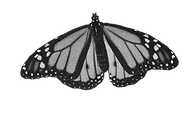 BW monarch 1.png