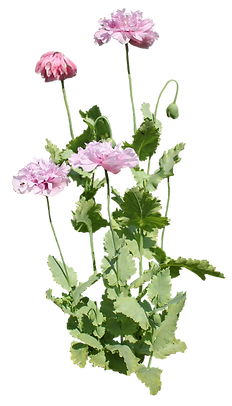 poppies.png