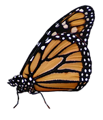 monarch3.png