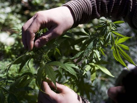 """Exigen que el cannabis medicinal incluya más patologías y poner fin a la """"persecución de usuarios"""""""