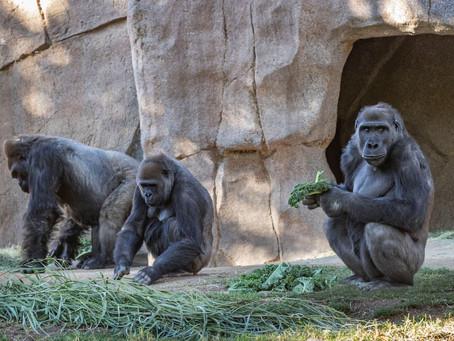 California   Dos gorilas con coronavirus en un zoológico