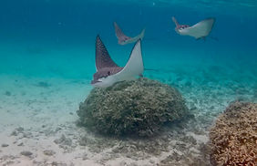 Eagle Rays early morning.jpg