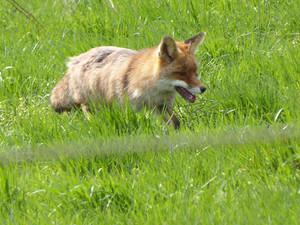 Eva_der Fuchs auf der Suche