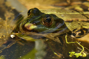 Dieter_Frosch im Teich