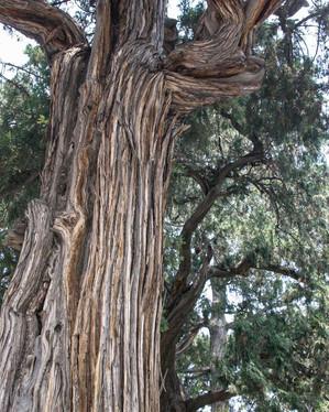 Ramona_Linien eines 400 alten Ginkgobaums