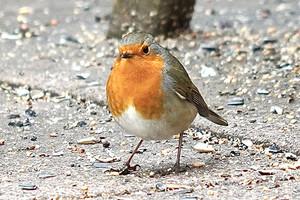 Detlef_Rotkehlchen, der Vogel des Jahres